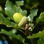 acorn-1714991_960_720