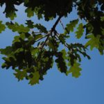 oak-leaves-summer